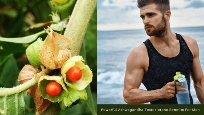 Ashwagandha Testosterone Benefits